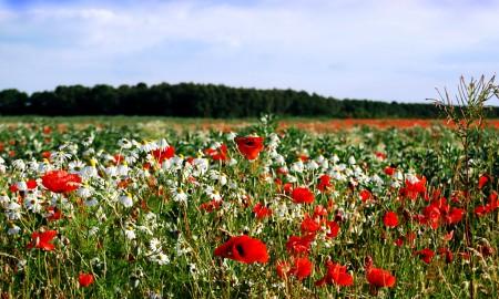 poppies-1250007