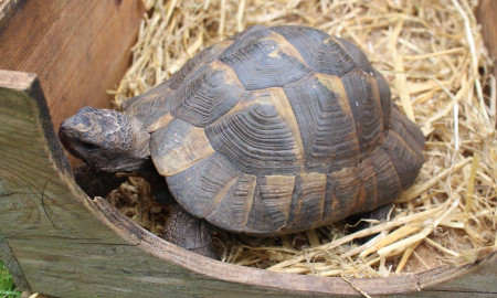 Foxe (Corpus Christi tortoise)